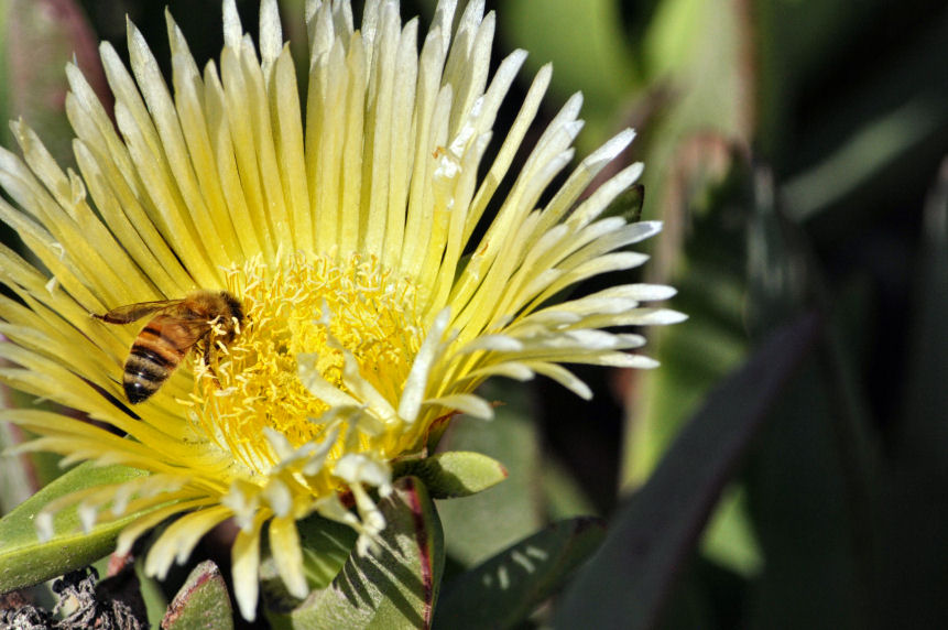 bee-in-ice-plant-flower