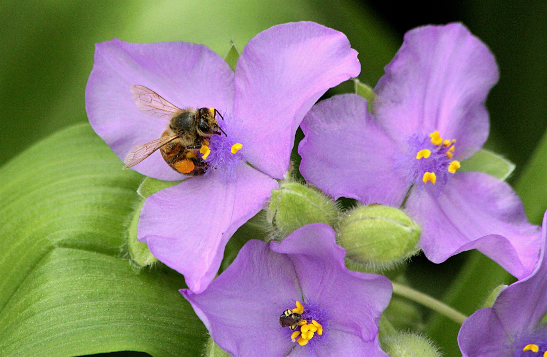 honey-bee-on-purple-spiderwort