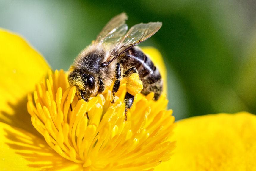 pollinating-bee-1494518889O0p